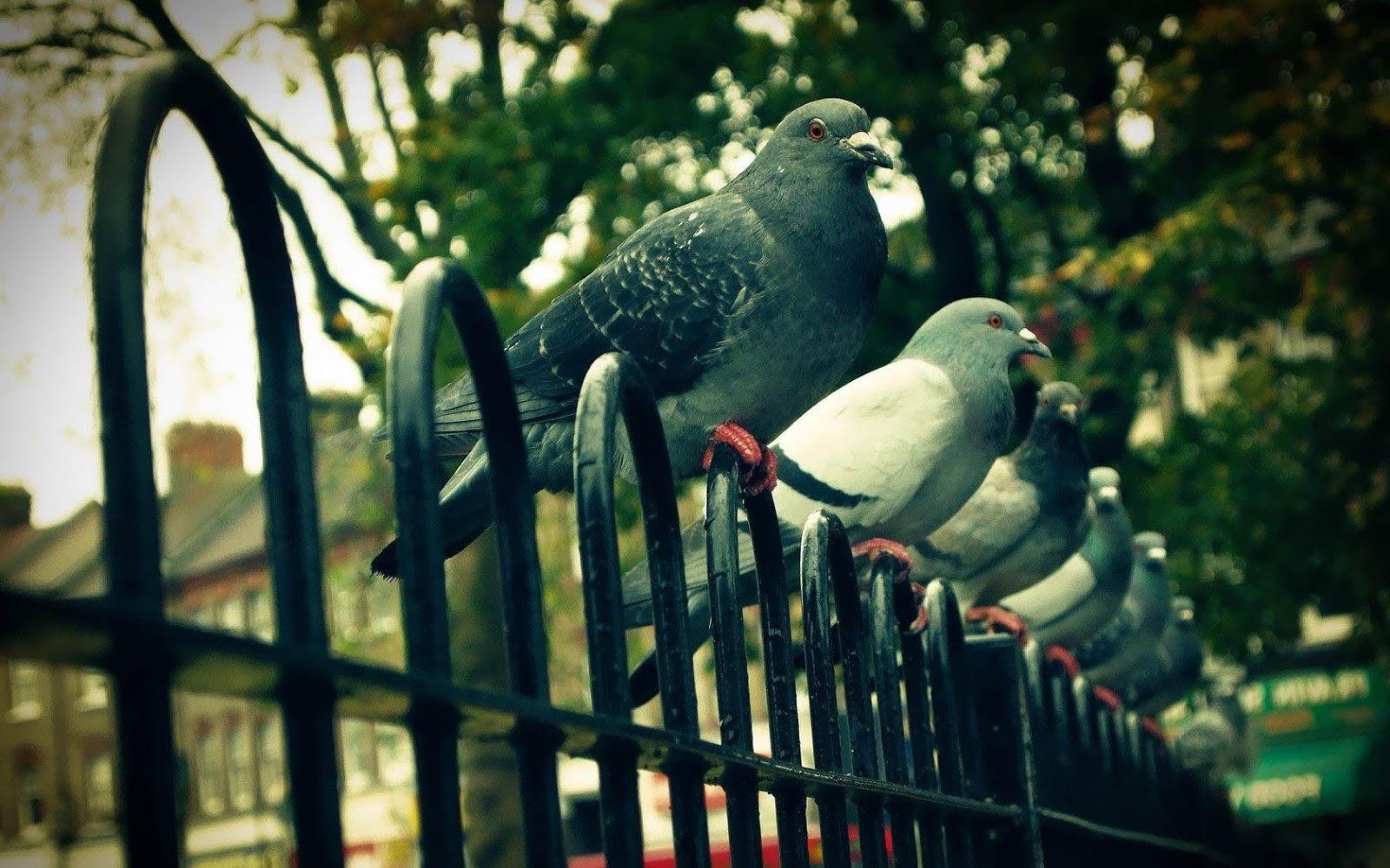foto-van-duiven-op-een-hek-hd-duiven-wallpaper